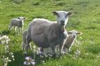 Hardangerfjord: Rosendal Lambs I
