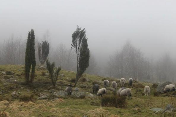 Sheep hidden in fog in Rosendal, Norway