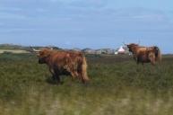 Mull_Cattle